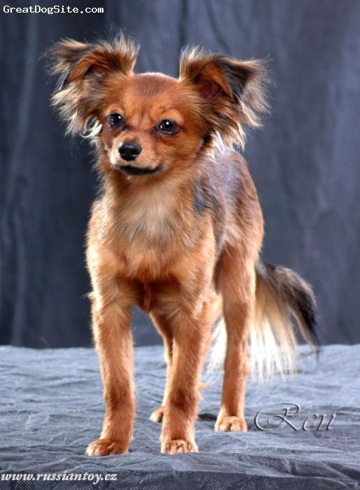 Russian Toy Terrier With Images Dog Breeds Russian Toy
