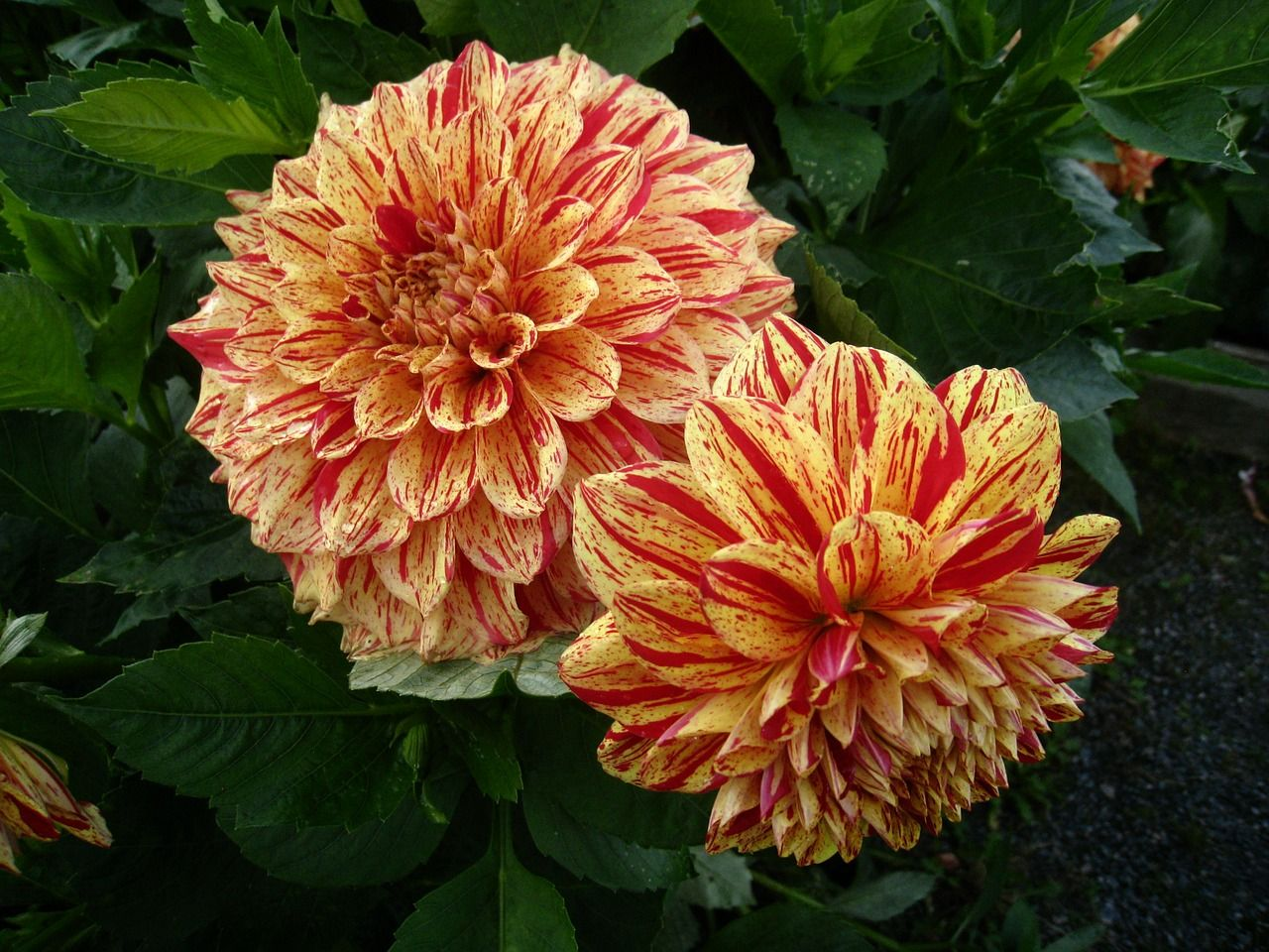 Fabulous Dahlias Review Of Four English Wors That Start With U For Graduate Entry Tests Flowers Dahlia Flower Dahlia