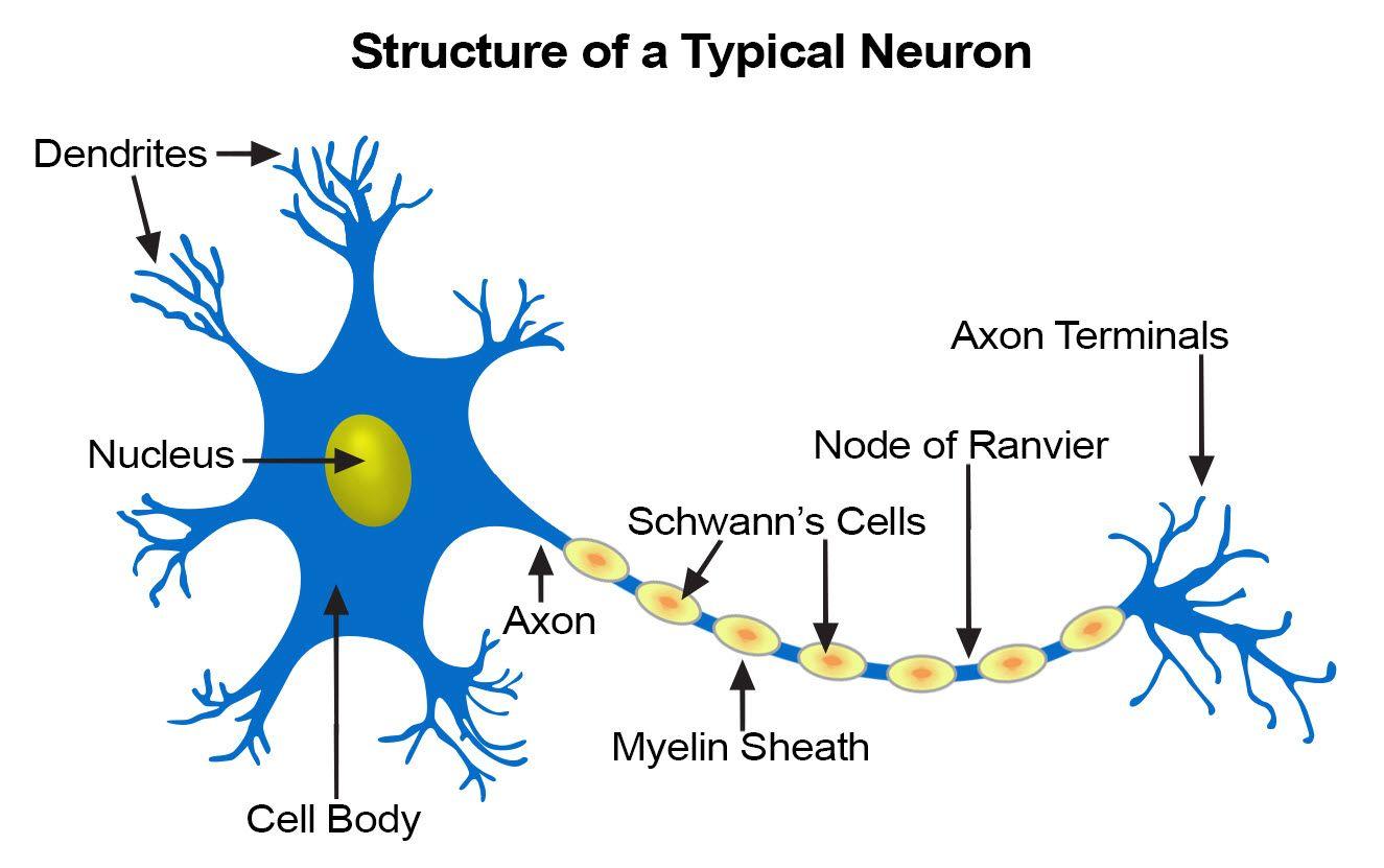 Illustration Of A Neuron Neurons Nerve Cell Neuron Diagram