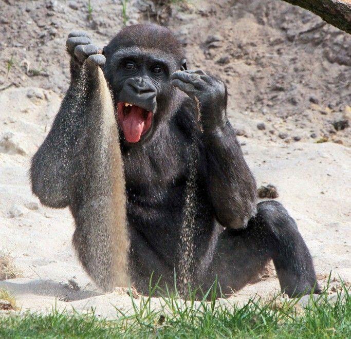 """Chama ha solo due anni e con la sabbia si diverte proprio come un bambino. """"Gli piace giocare e imparare"""" spiega il fotografo Joke Kok, che è riuscito a fotografare il piccolo gorilla a soli 30 metri di distanza, nel parco dei primati di Apenheul in Apeldoorn, Paesi Bassi. """"Cer"""