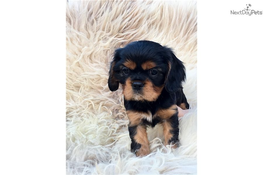 Cavalier King Charles Spaniel Puppy For Sale Near Gainesville Florida 54c03e67 1251 Cavalier King Charles Spaniel King Charles Spaniel Cavalier King Charles