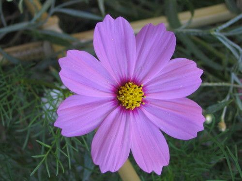 Cosmos charming pink purple flower with a yellow eye in the center cosmos charming pink purple flower with a yellow eye in the center mightylinksfo
