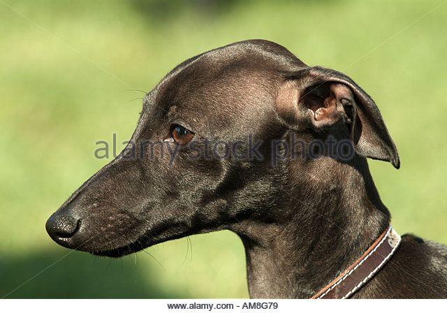 Italian Greyhound Stock Image Hunde