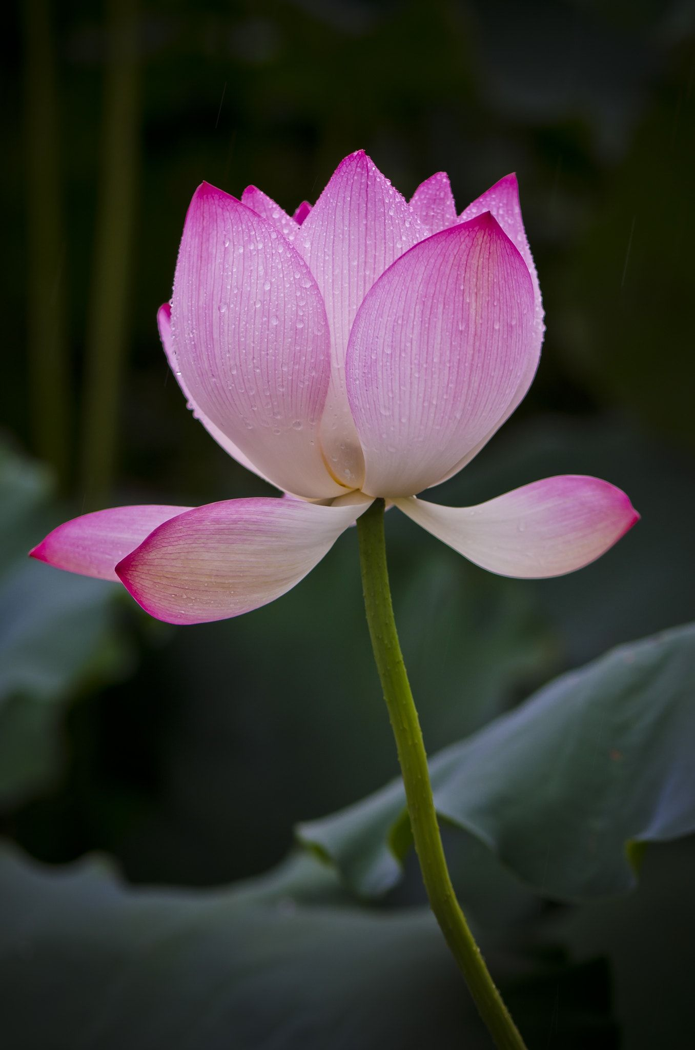 Lotus a lotus grows in the mud have a lovely day a hrefhttps lotus a lotus grows in the mud have a lovely day a href izmirmasajfo