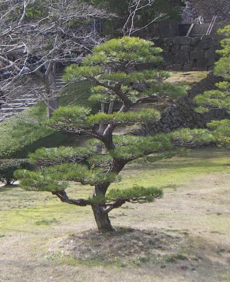 vente d 39 arbres japonais vente de niwaki p pini re niwaki p pini re arbre en nuage niwaki. Black Bedroom Furniture Sets. Home Design Ideas