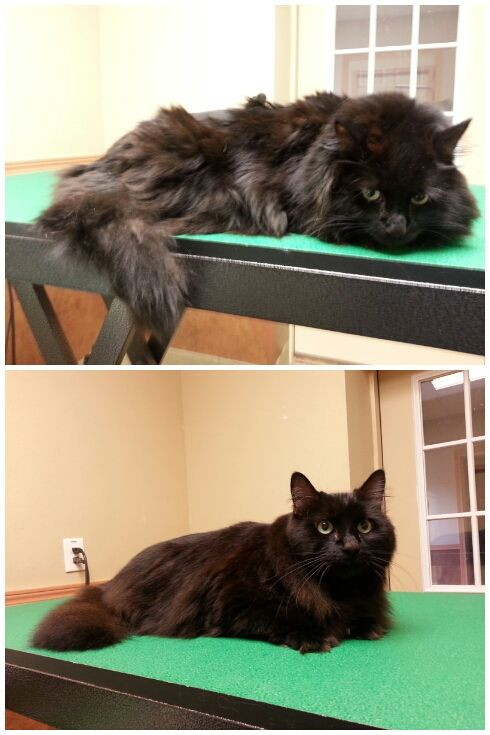 Before And After Kitty Bath Cat Grooming Black Long Haired Cat