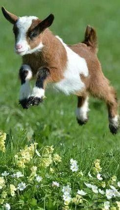 Happy Baby Goat