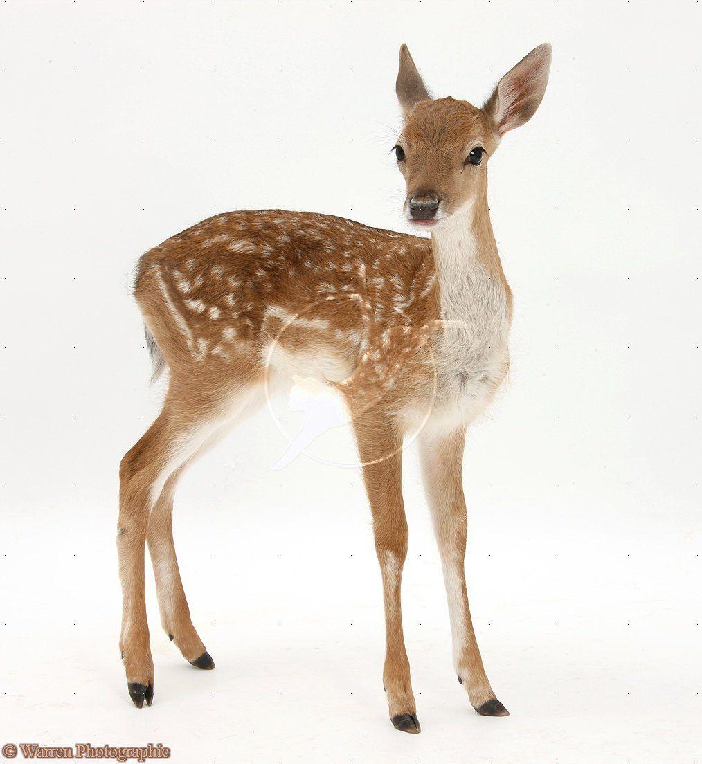 Fallow Deer fawn - Warren Photographic | The Animal World ...