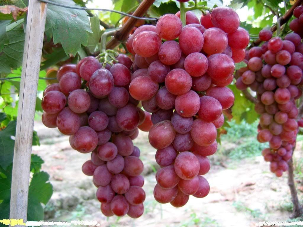 Sd0543 Red Grapes Fruit Seeds New Fresh High Germinating Seeds Sweet Big Red Grape Seeds 60 Days Money Back Guarantee 10 Seeds A Grapes Fruit Fruit Seeds
