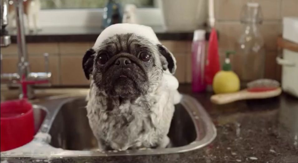 e041e990c6d33 Pug being washed in the kitchen sink for ITV advert!