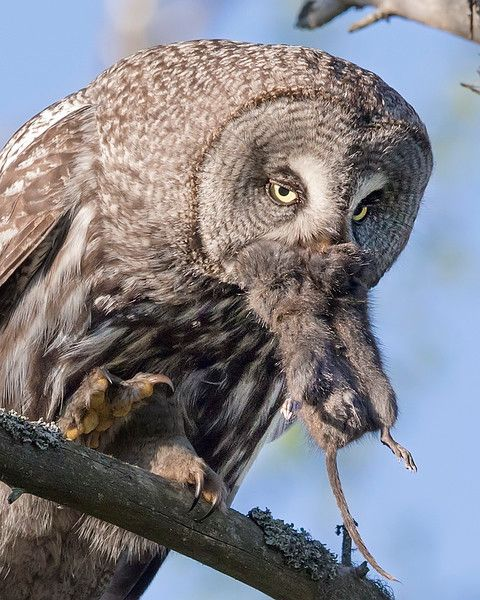 "This photograph of a Great Grey Owl with prey was captured in the Oulu area of Finland (6/15). <FONT COLOR=""RED""><h5>This photograph is protected by International and U.S. Copyright Laws and shall not to be downloaded or reproduced by any means without the formal written permission of Ken Conger Photography.<FONT COLOR=""RED""></h5>"