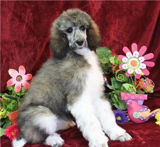 Standard Parti Poodles Near Me For Sale Poodle Puppy Poodle
