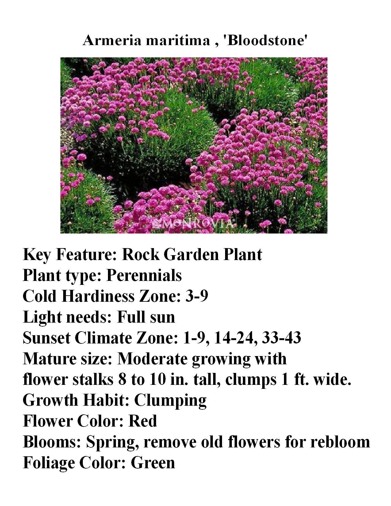 Armeria Maritina A Great Border Plant That Grows In A 6 10 Tall