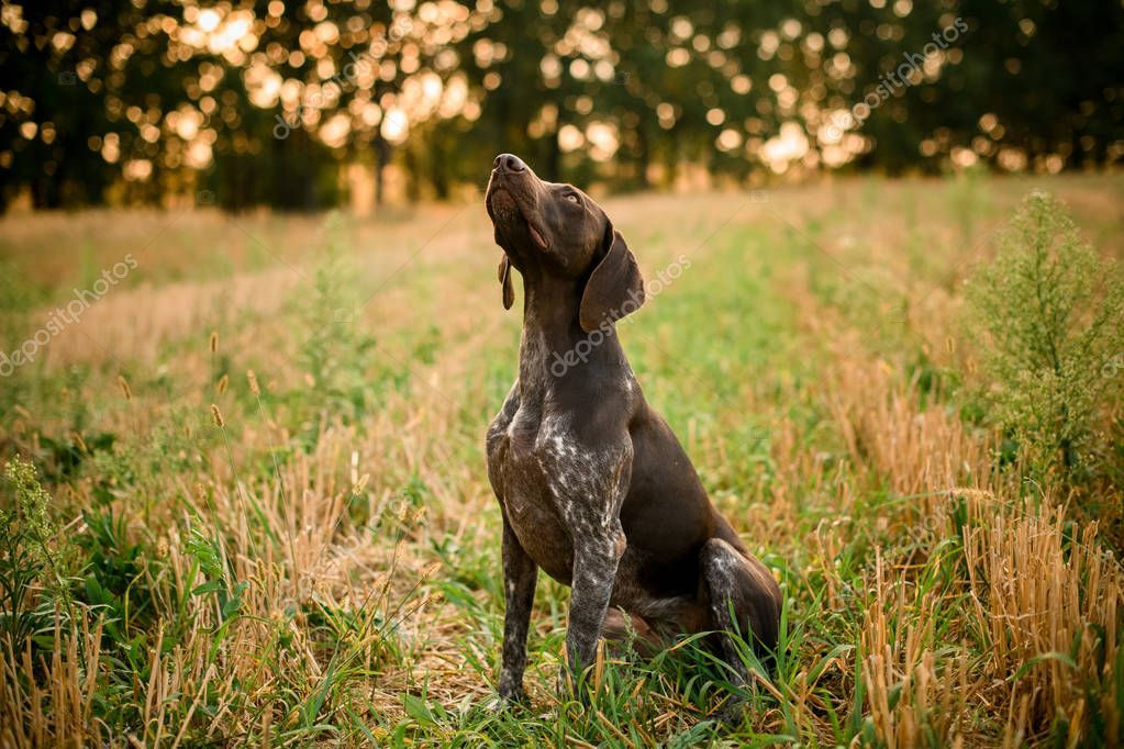 Dark Brown Dog Looking Up In The Field Stock Photo Aff Dog Brown Dark Photo Ad Brown Dog Dogs Dark Brown