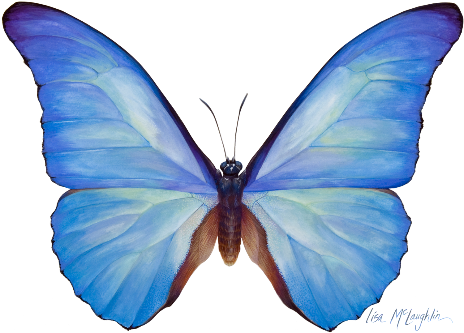 Lisa Mclaughlin S Detailed Wildlife Watercolors Exhibit Blue Butterfly Wallpaper Butterfly Watercolor Butterfly Images