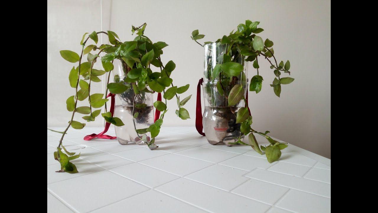 Plante Grimpante Dans L Eau زراعة نباتات متسلقة اللواية في الماء Glass Vase Plants Vase