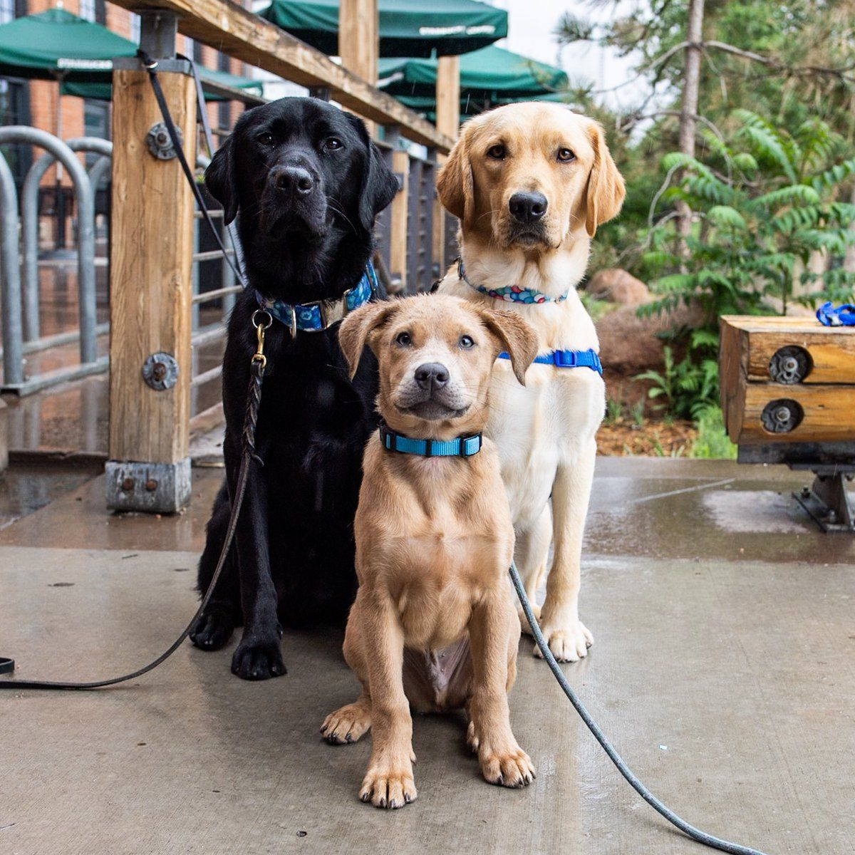 Lab/Golden crosses, service dogs Dog training near me