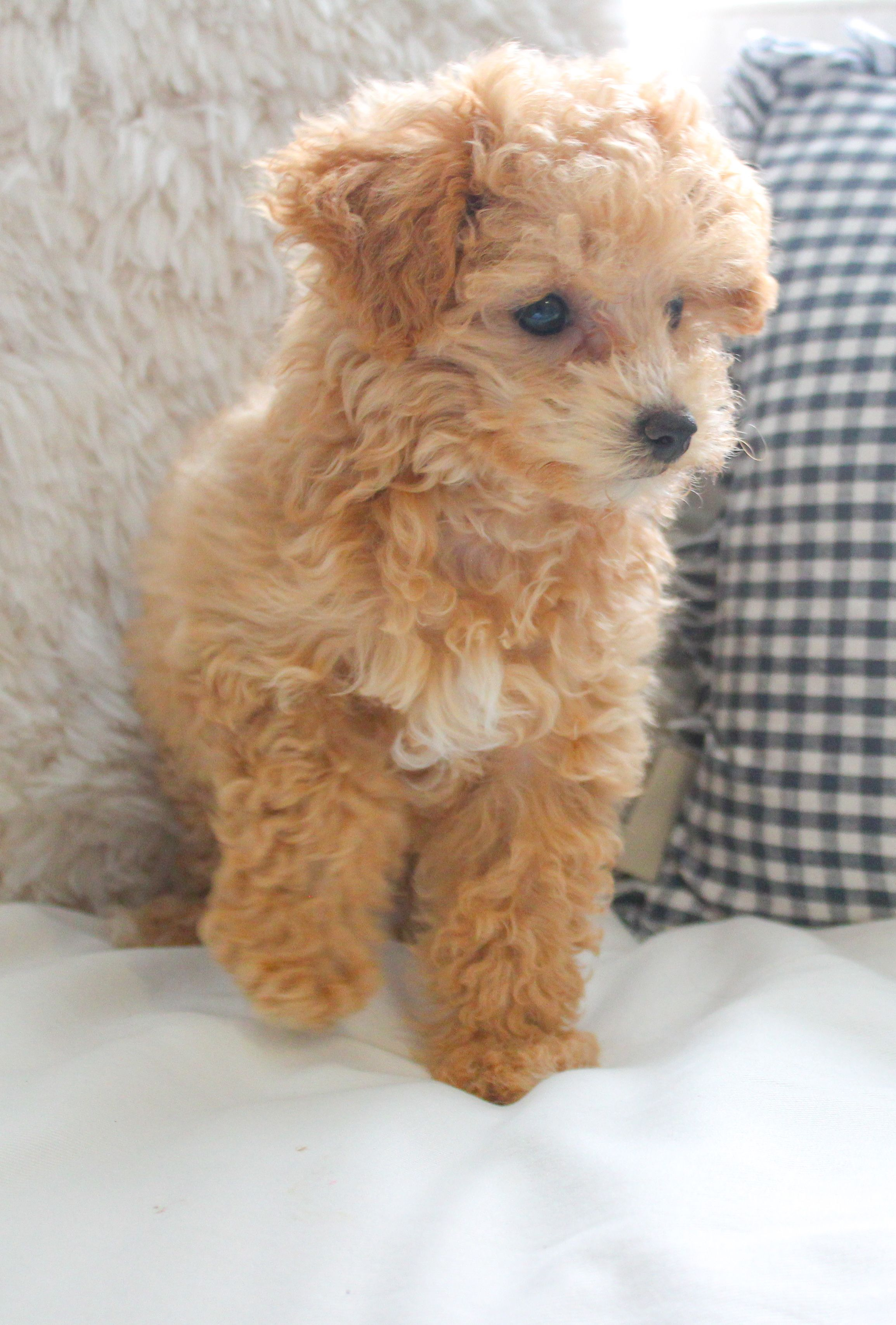 Ranger S Must Have Puppy Products Maltipoo Puppy Puppies Teddy