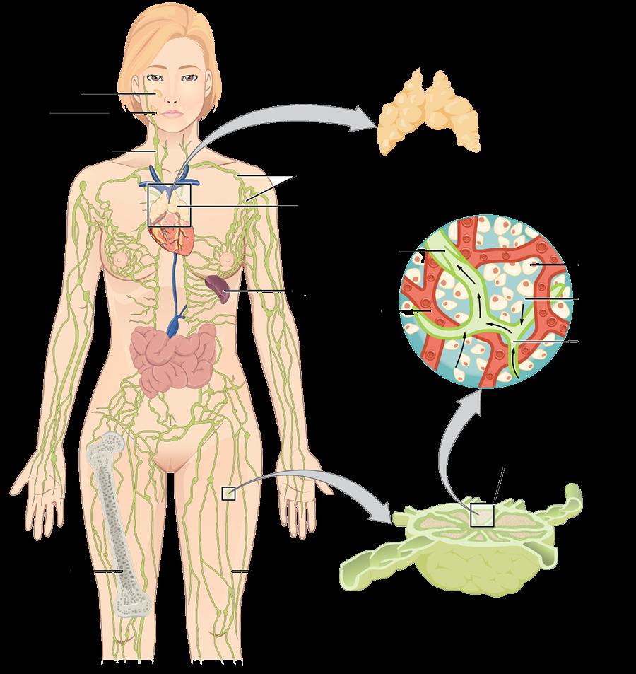 Lymfaticky System Zdravie Pinterest