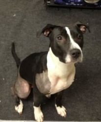 Adopt Faith On Petfinder Pitbull Mix Pitbull Boxer Black And White Pitbull