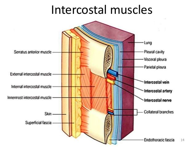 Image Result For Intercostal Muscles Intercostal Muscles