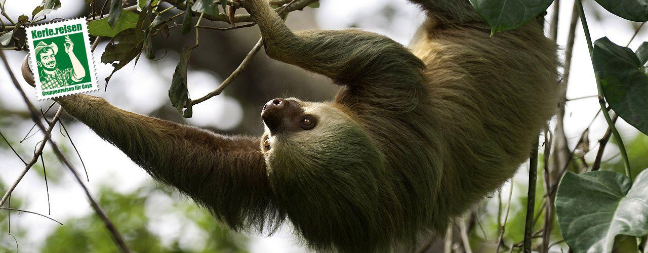 Faultiere auf Costa Rica, eine von 500.000 Tierarten, die dort heimisch sind. Kommt mit auf die Gay Natur & Erlebnisreise von Kerle.reisen.