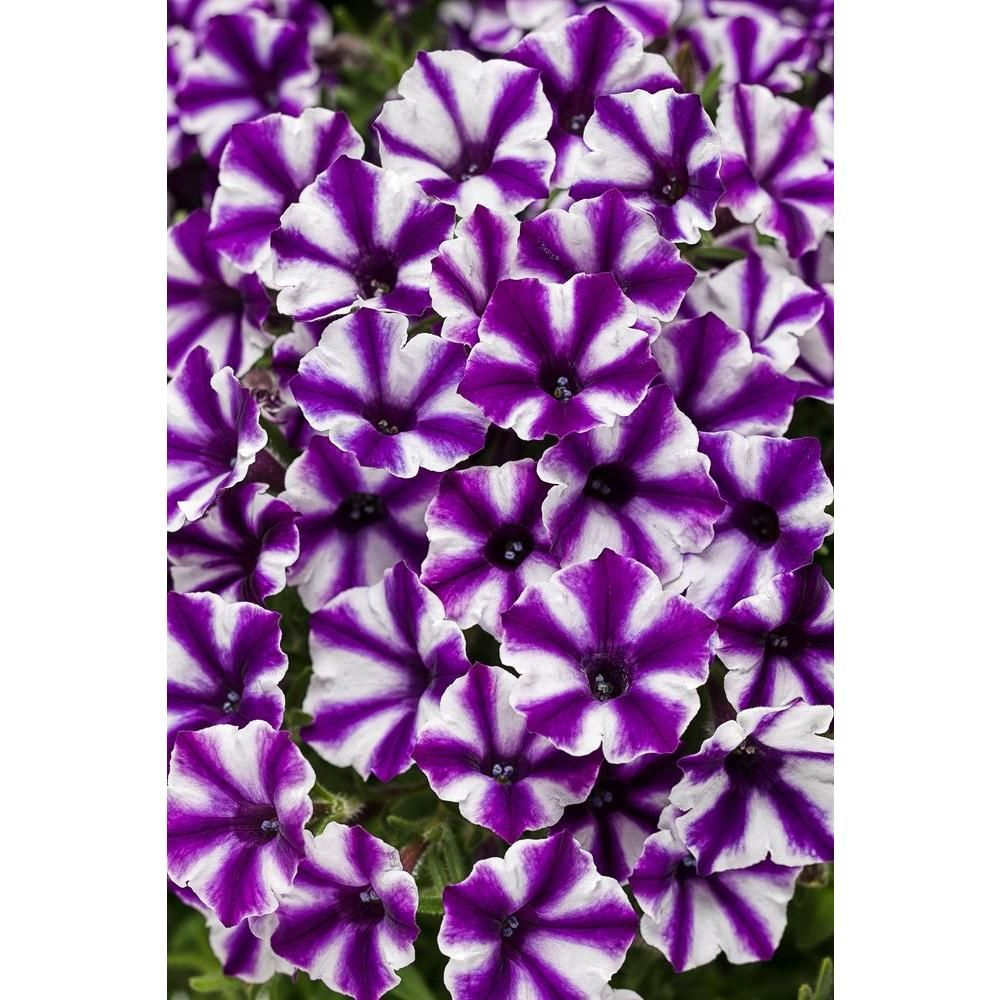 Proven Winners Supertunia Violet Star Charm Petunia Live Plant