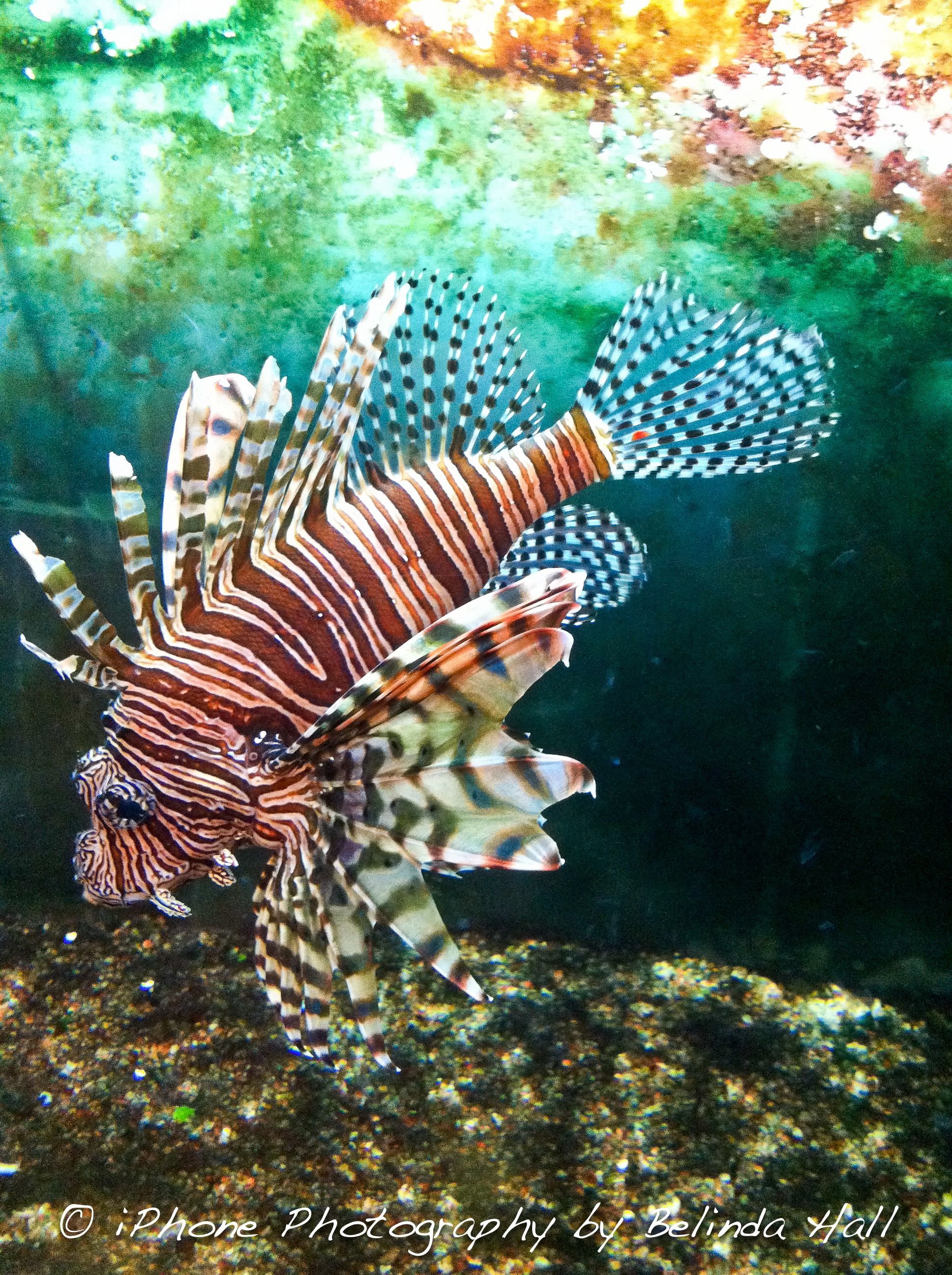 This lion fish is a very venomous fish Its stripes and eccentric
