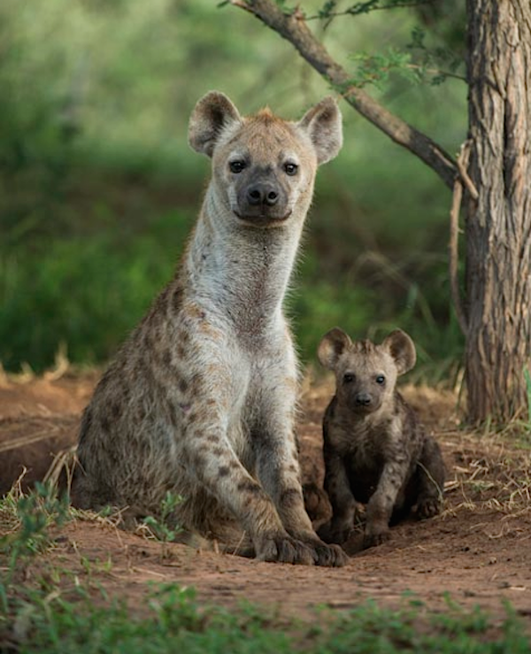 """""""Sometimes the strength of motherhood is greater than natural laws."""" — Barbara Kingsolver. [Hyena. Pinned by PartyTalent.com]"""