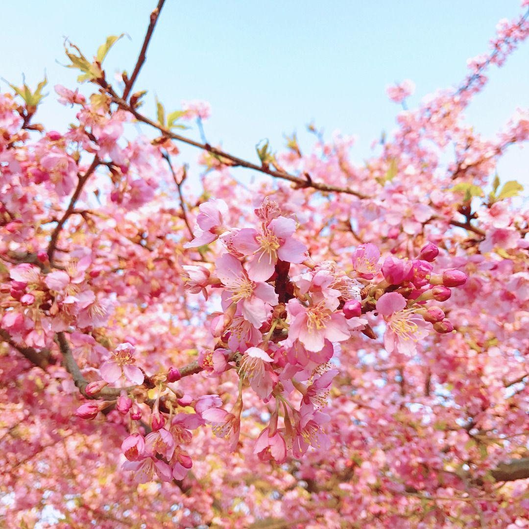 #代々木公園 #桜 #河津桜 #cherryblossom - #cherryblossom #代々木公園 #桜 #河津桜