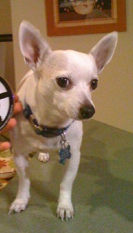 Lost Dog - Chihuahua - Arlington, TX, United States 76001