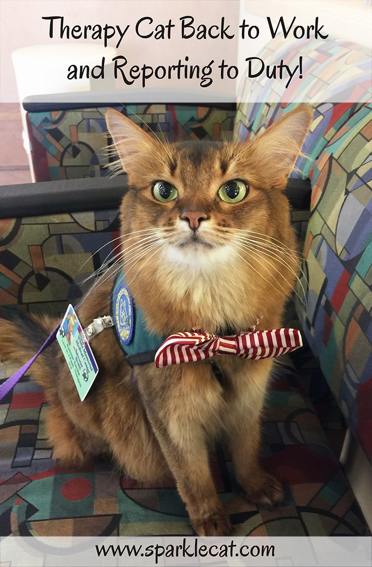 Back to Work as a Therapy Cat Cats, Cat work, Funny cat
