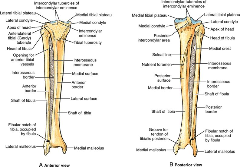 Lower Leg Anterior And Posterior View Of Tibia And Fibular With