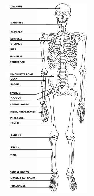 Human Skeleton Diagram with Labels Unique View Full Size ...