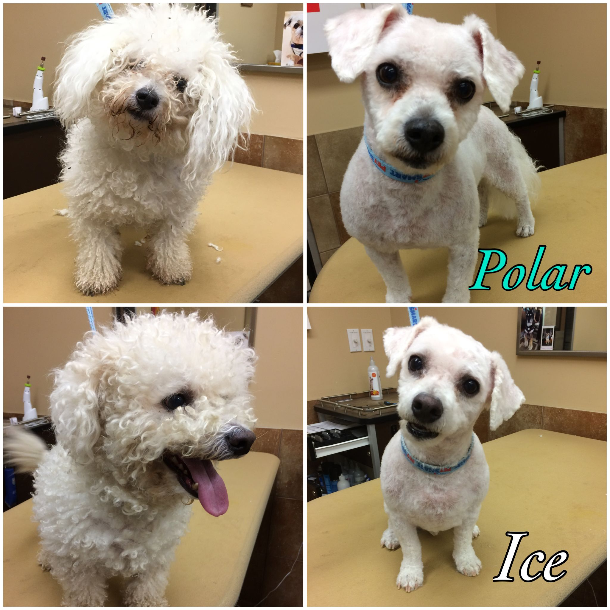 """before and after bichon frise 
