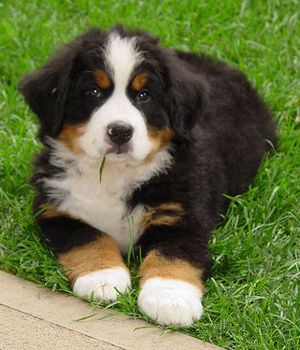 Appenzeller Sennenhund Puppy Bernese Mountain Dog Puppy Mountain Dogs Bernese Mountain Dog