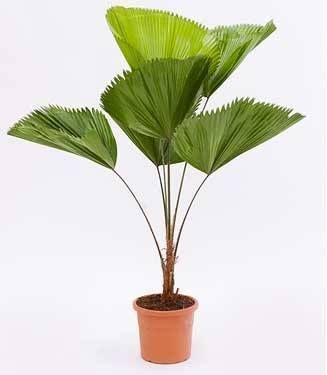 Grote licuala planten voor binnen our house pinterest for Grote planten voor binnen