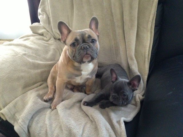 Quality Blue French Bulldog Puppies Dogs Puppies For