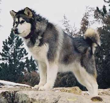Alaskan Malamute Not A Husky But His Close Cousin Had One
