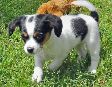 Echo The Cavalier King Charles Spaniel Jack Russell Terrier