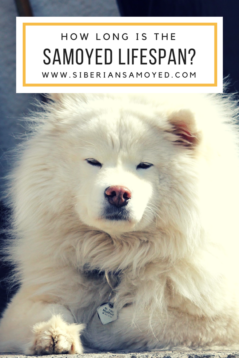 How Long Is The Samoyed Lifespan About The Life Expectancy For Samoyed Dogs Samoyed Samoyed Dogs Animals
