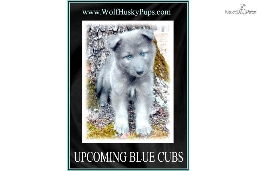Wolf Hybrid Puppy For Near Tampa Bay Area Florida C761260f 94b1