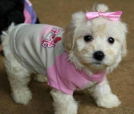 Johnsons Jewels Malti Poo Puppies Maltipoo Puppy Cute Little