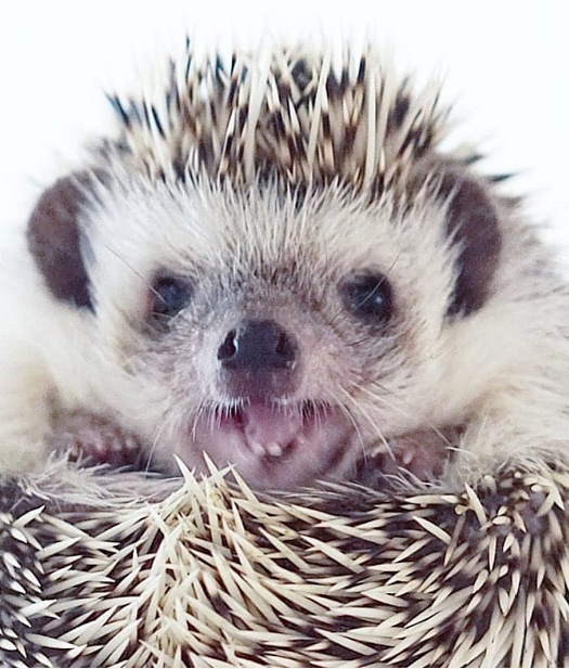 Raising Pets At Home Is A Good Habit Because Small Pets Can Bring Happiness To Everyone Increase Life Interest An In 2020 Interesting Animals Hedgehog Pet Small Pets