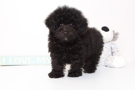 Poodle Toy Puppy For Sale In Mount Vernon Oh Adn 45666 On