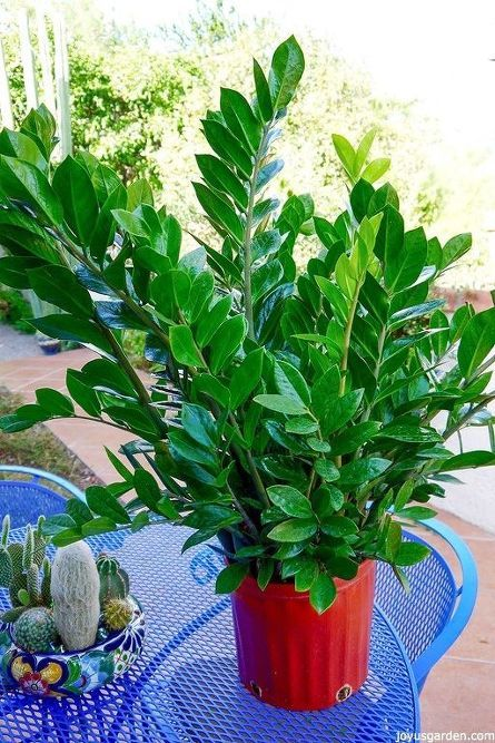 Houseplant Alert 3 Reasons You Need The Awesome Zz Plant