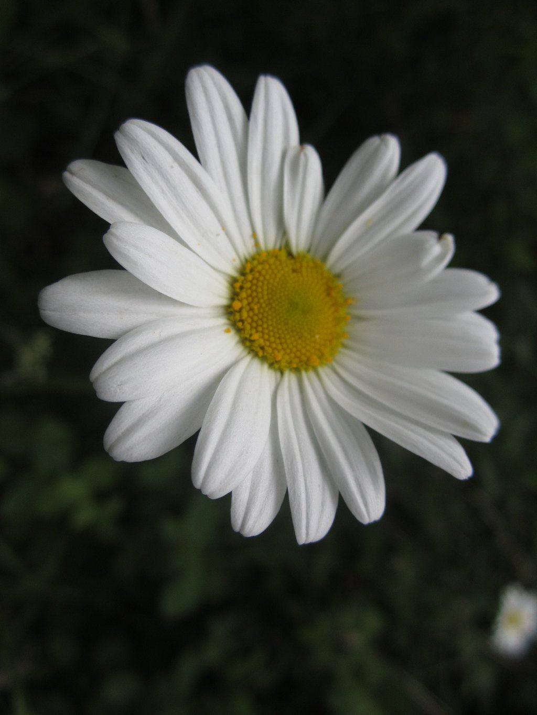A little wild white flower daisies pinterest white flowers a little wild white flower white flowers margaritas daisies flower bellis izmirmasajfo