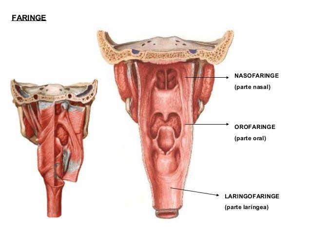 FARINGENASOFARINGE(parte nasal)OROFARINGE(parte oral)LARINGOFARINGE ...