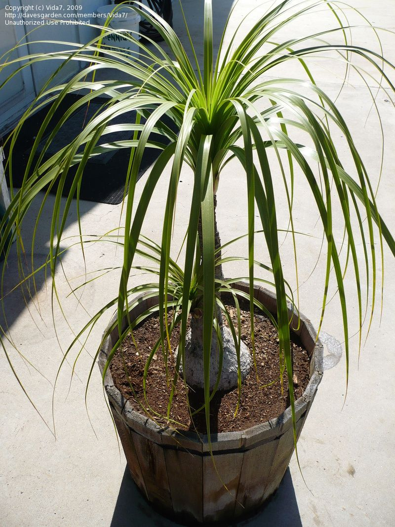 Elefantenfuß Im Topf Pin By April Kush On Indoor Outdoor Plants Pony Tail Palm Pony