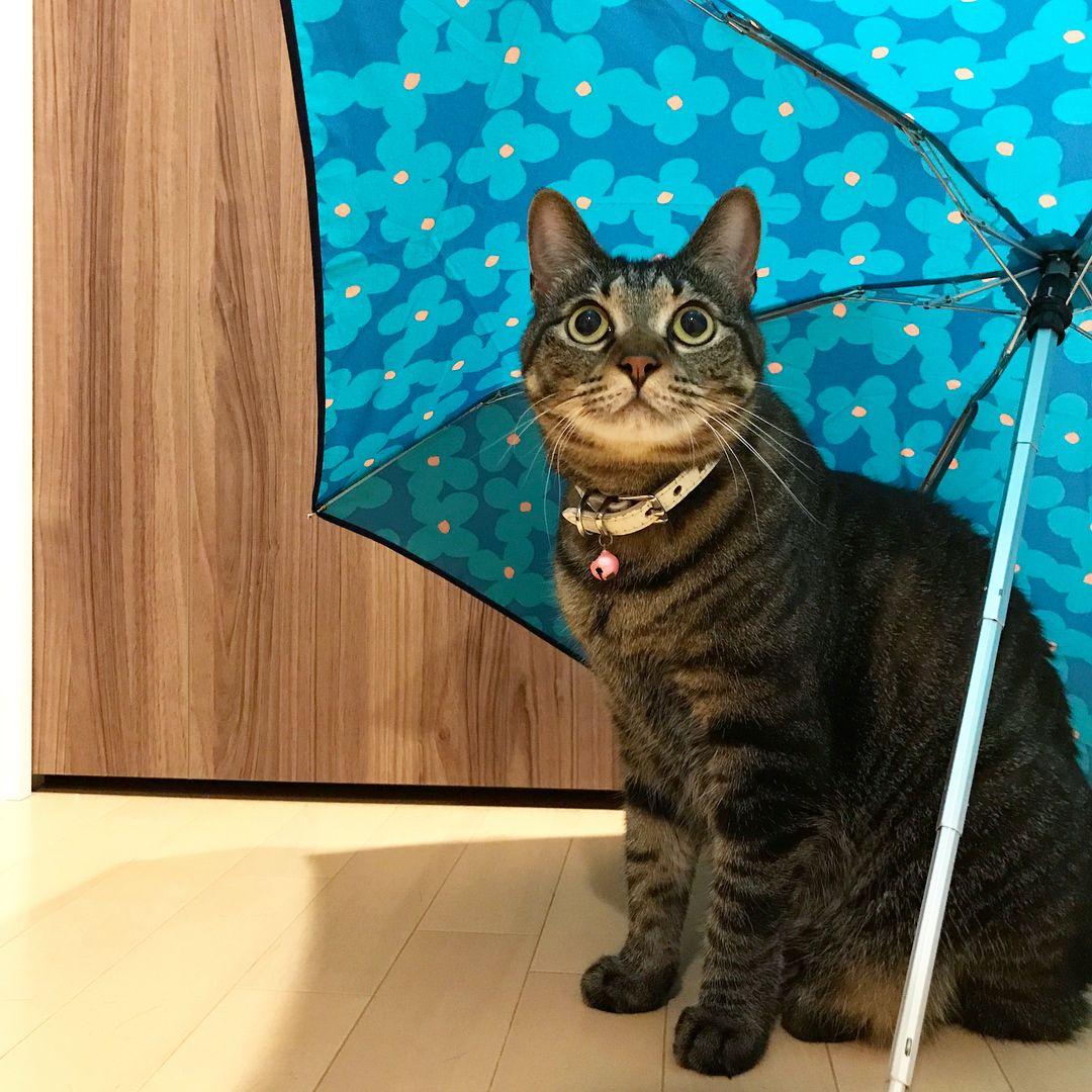 いいね!210件、コメント6件 ― Chichさん(@chich_koharu)のInstagramアカウント: 「・ 🌧アメふったにゃ?🐱 ☂️あたらしいのかってぇ☂️✨ ・ 雨の季節はこはたんの雨宿りが恒例になります🐱☔️💕 ・ #猫 #ねこ #ネコ #にゃんこ #にゃんすたぐらむ #きじとら #キジトラ…」